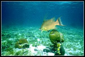Hogfish in seagrass